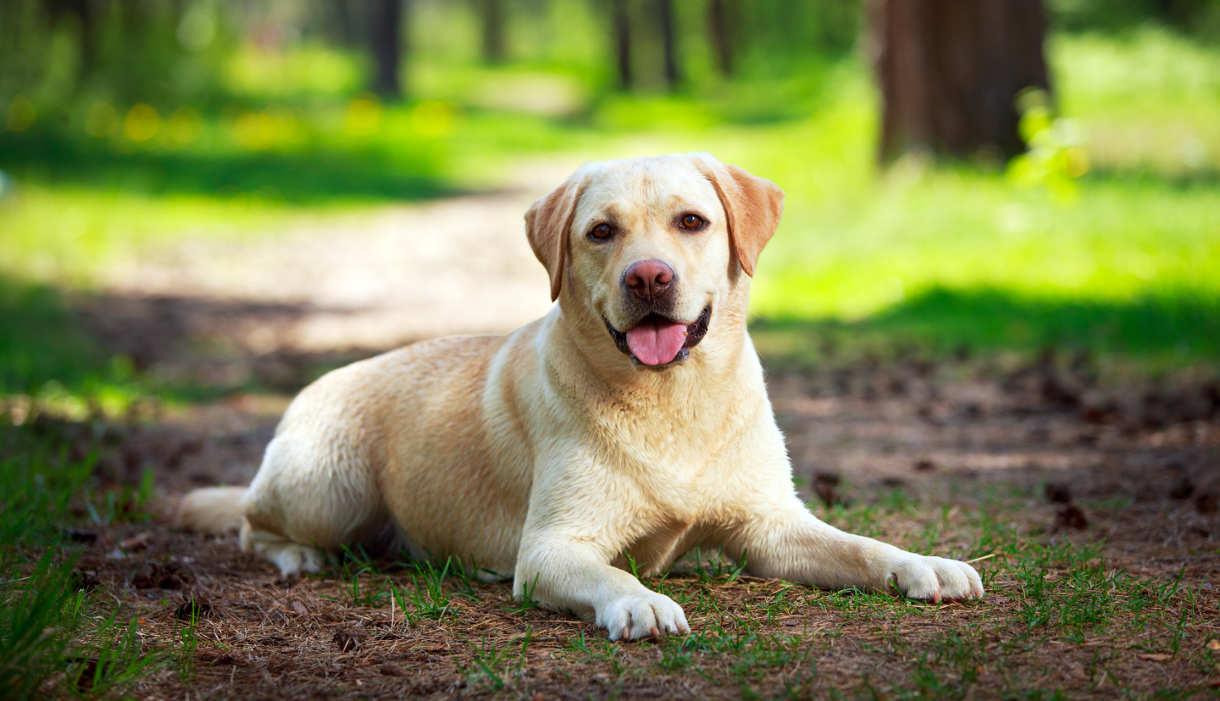 labrador dog adult