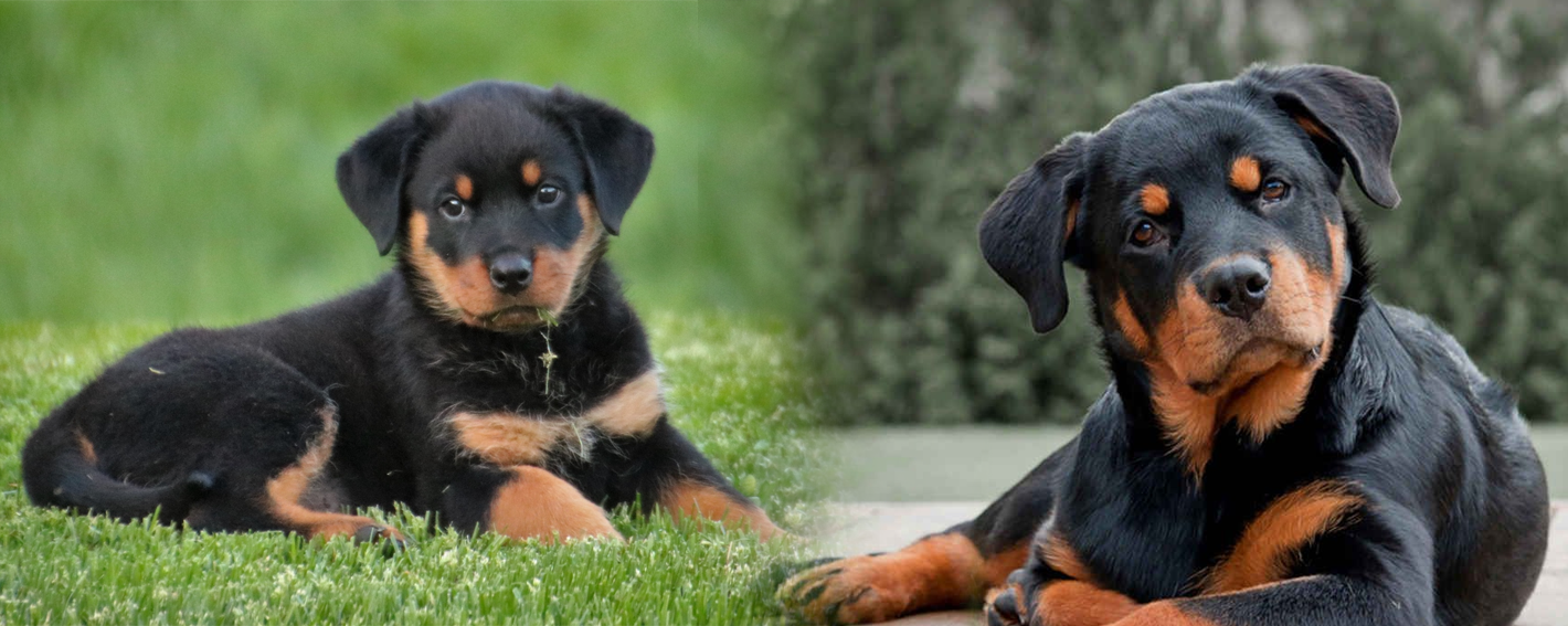 Rottweiler Puppy and adult dog
