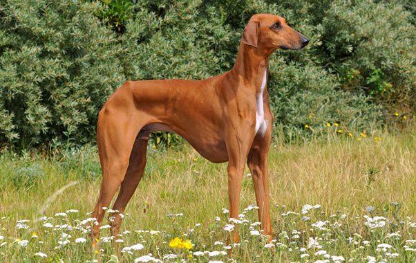 Azawakh-Dog