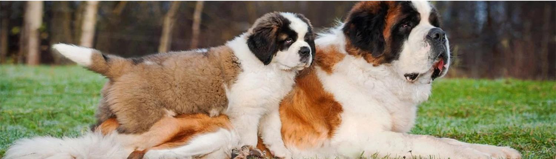 Saint Bernard Dog with Puppy
