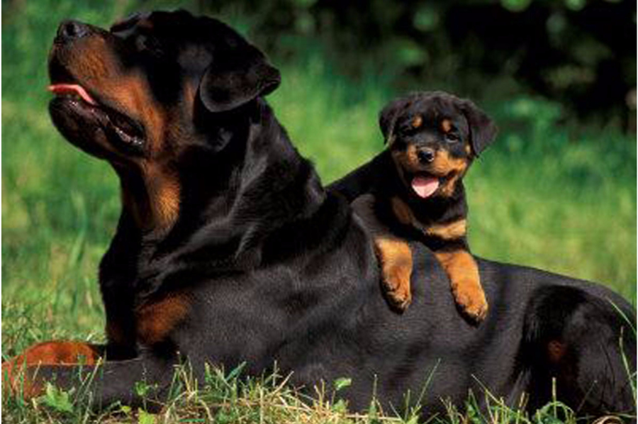 rottweiler dog with puppy
