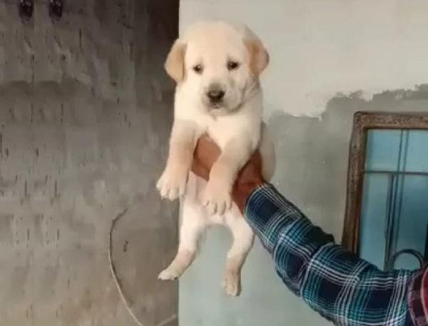 Labrador standard