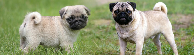 Pug dog Image
