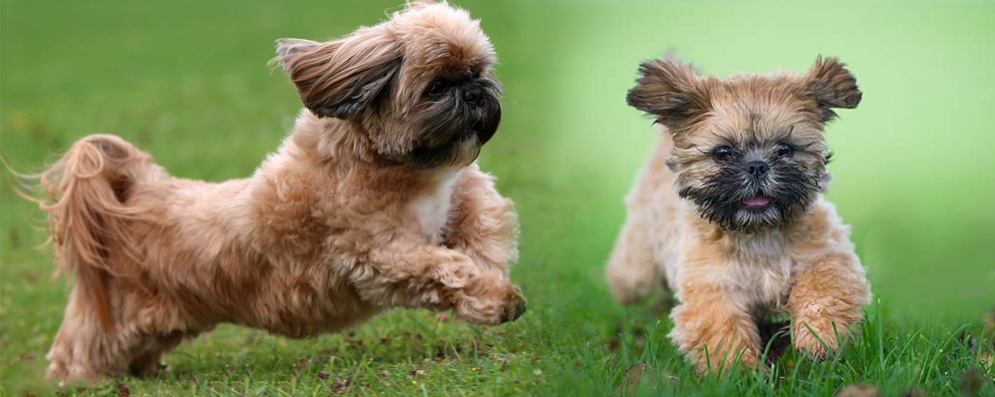 shih tzu dog and puppy