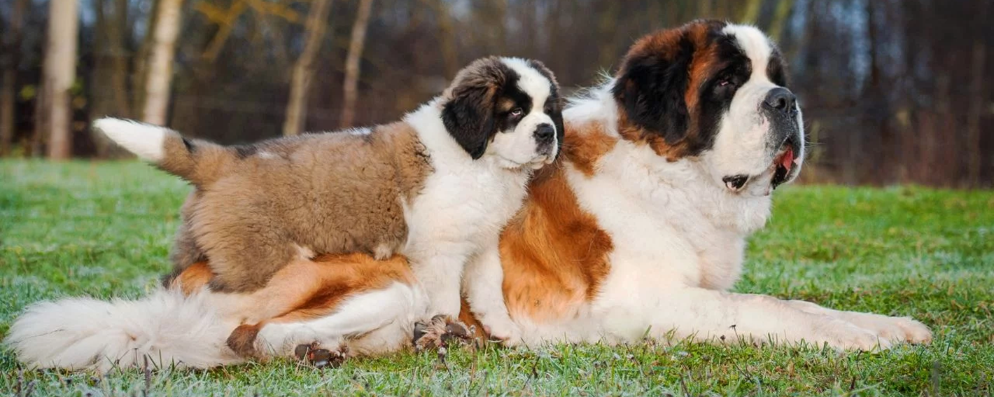 Saint Bernard dog with Puppy