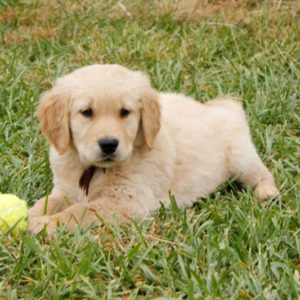 golden retrivere