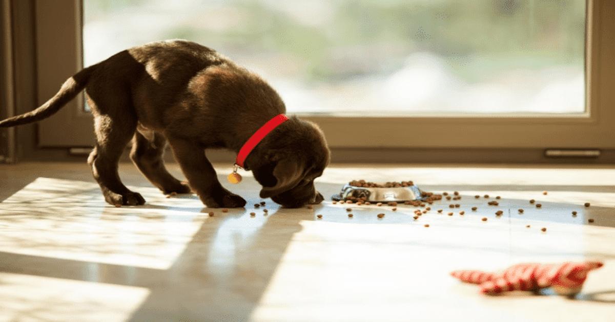 puppy-feeding-change